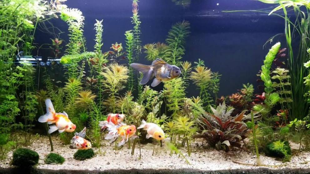 decoration aquarium japonais